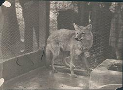 1919 Wolf Animal Cage Fenced Area People Timber North Americ