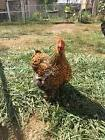 10+ extra jumbo fertile Chicken hatching eggs. LOCATED IN NO