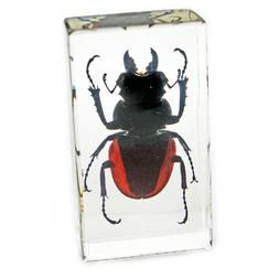 Orange Stag Beetle Paperweight