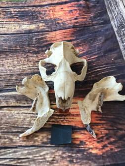 Real XL Beaver Skull Animal Mount unique Teacher Educational